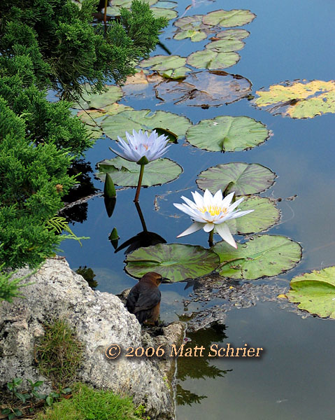 Lily pond with bird, Epcot Center, Fl