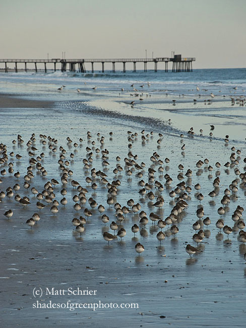 Birds on Beach, Avalon, NJ