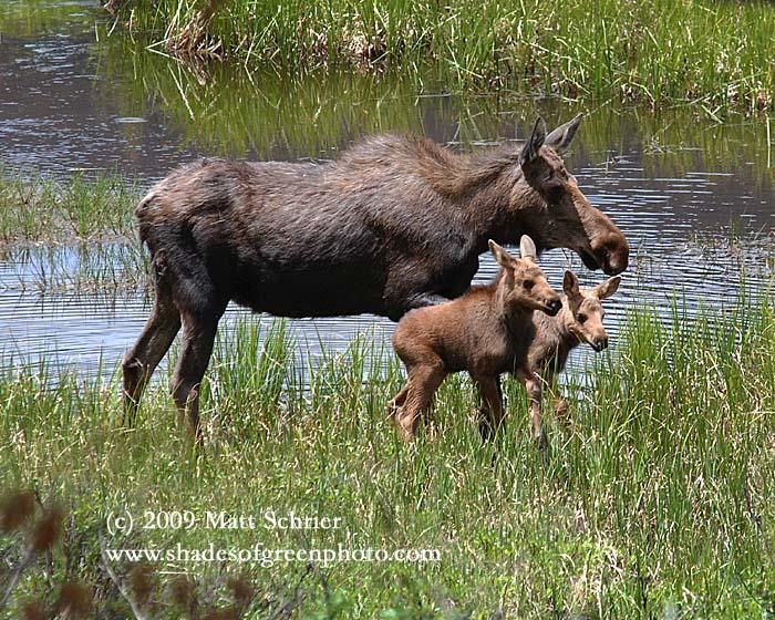 Colorado Moose, Rocky Mountain Natl. Park