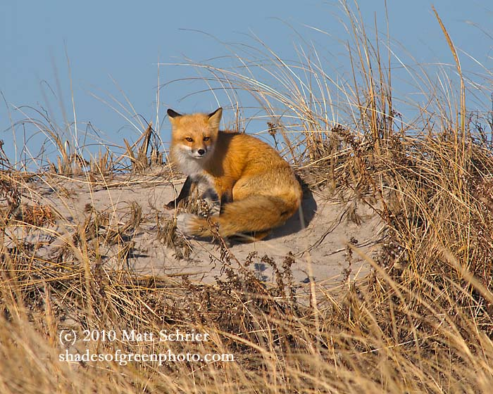 Beach Fox, Brigantine, NJ