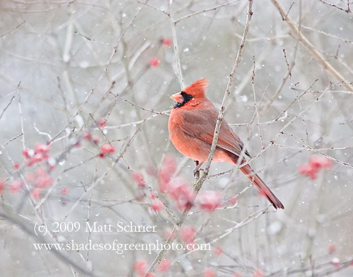 Cardinal in Snow, Bucks County, Pa