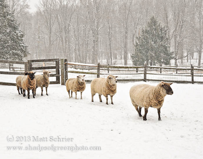 Sheep in the Snow, Bucks County, Pa