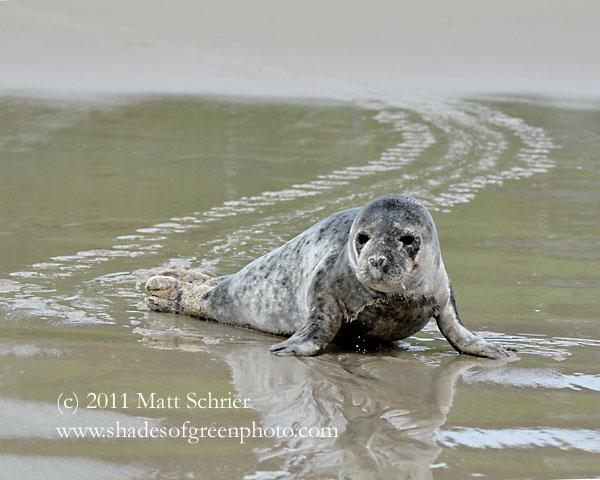 Seal #2, Achill Island, Ireland
