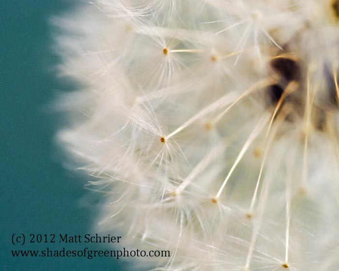 Dandelion in Teal,
