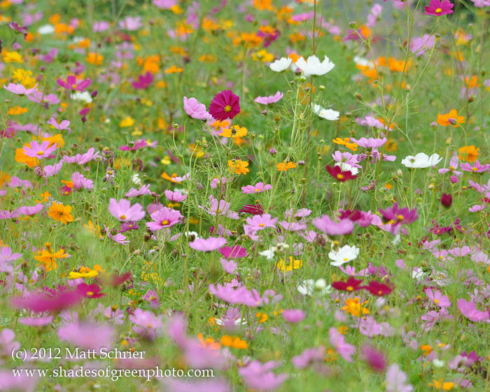 New Jersey Wildflowers, Atlantic City, NJ