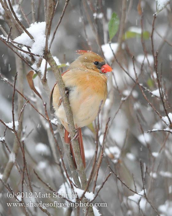 Female Cardinal #1, Bucks County, PA