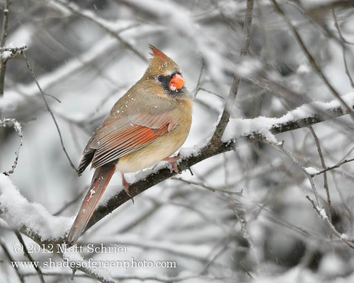 Female Cardinal #3, Bucks County, PA