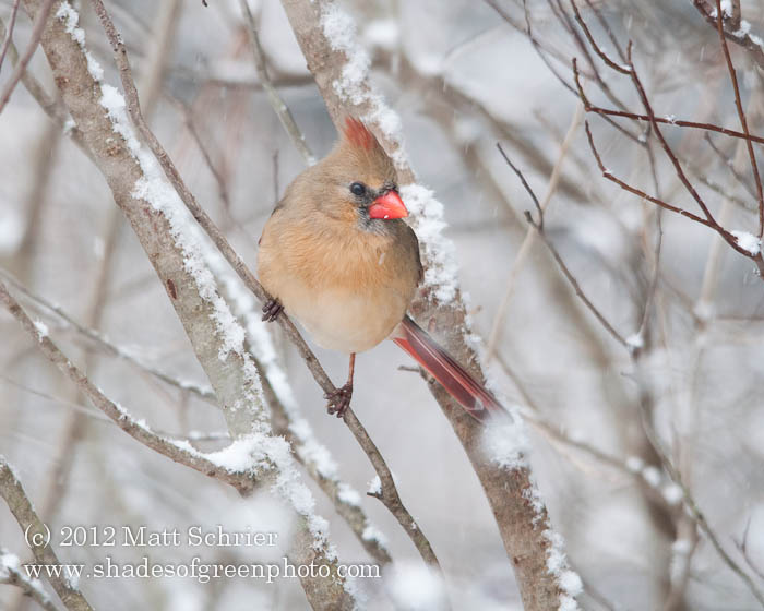 Female Cardinal #4, Bucks County, PA