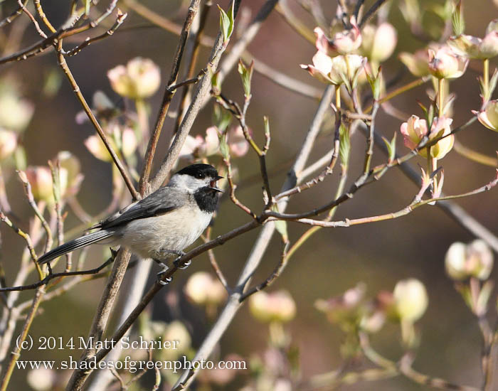 Chickadee in Dogwood,