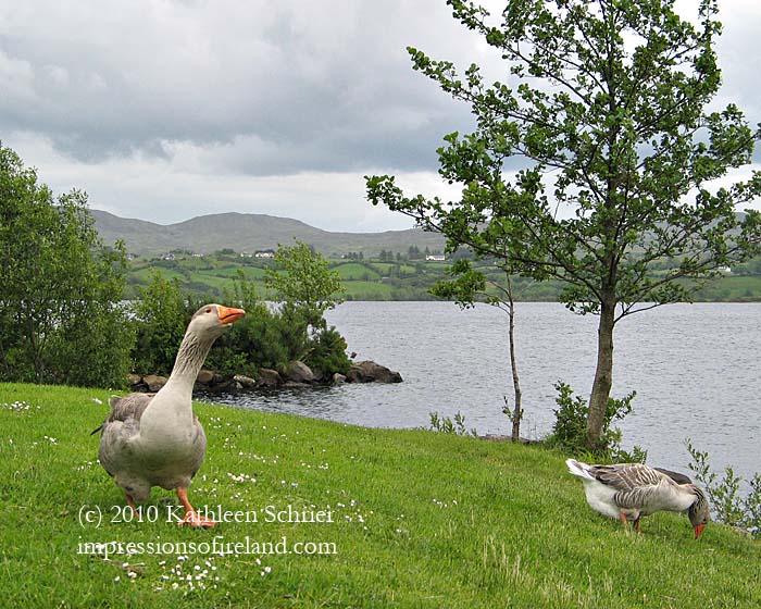 Ducks of Harveys Point, County Donegal, Ireland