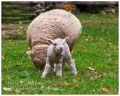 Babydoll Lamb with Mother