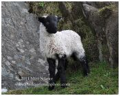 Hillside Lamb