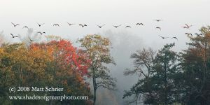 Geese Flying Into the Fog