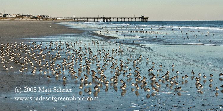Birds On Avalon Beach Nj